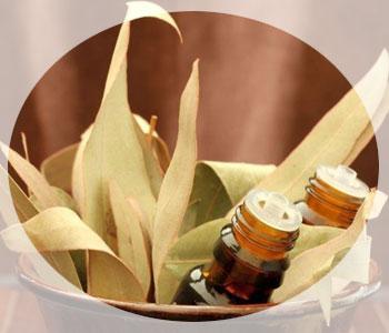Применение масла эвкалипта и его основные свойства