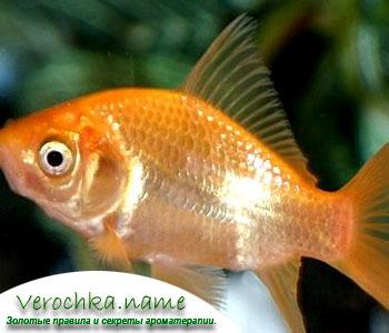 Разведение золотых рыбок – что нужно знать